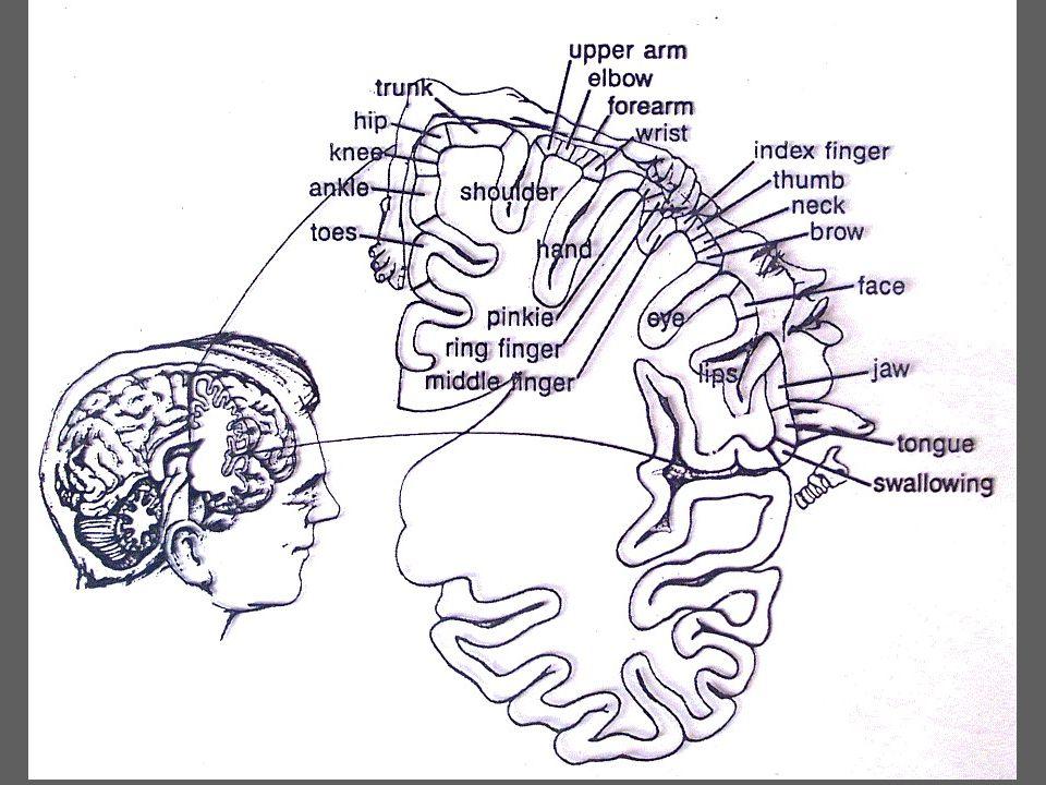 Hånden og hjernen