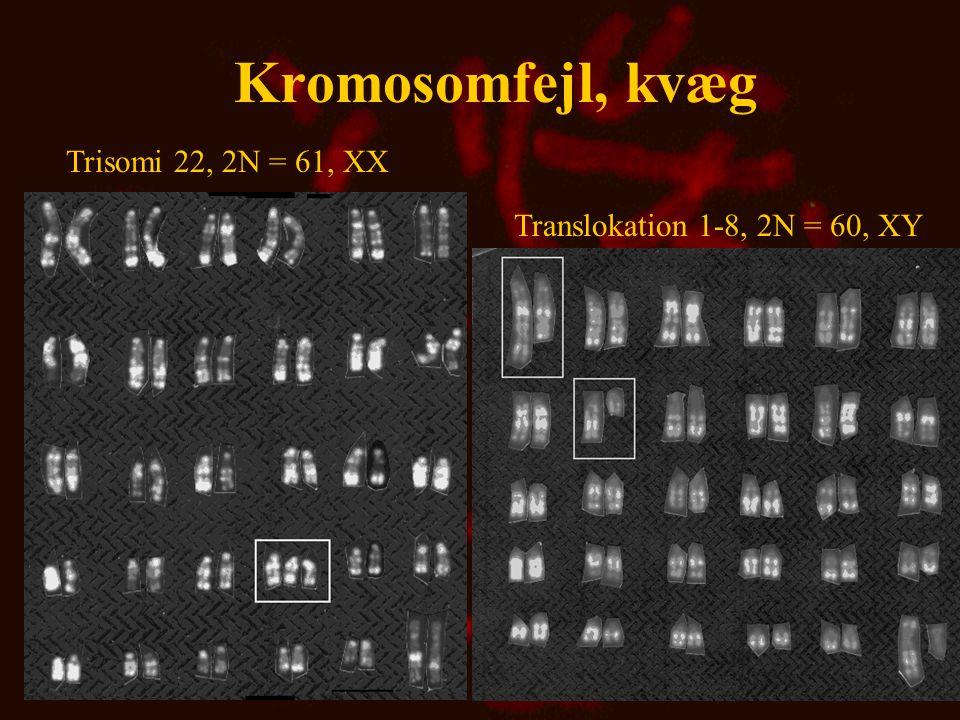 Kromosomfejl, kvæg Trisomi 22, 2N = 61, XX