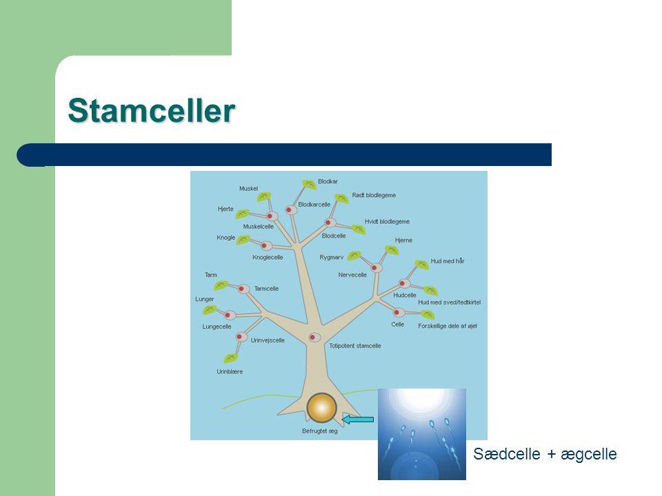 Stamceller Sædcelle + ægcelle