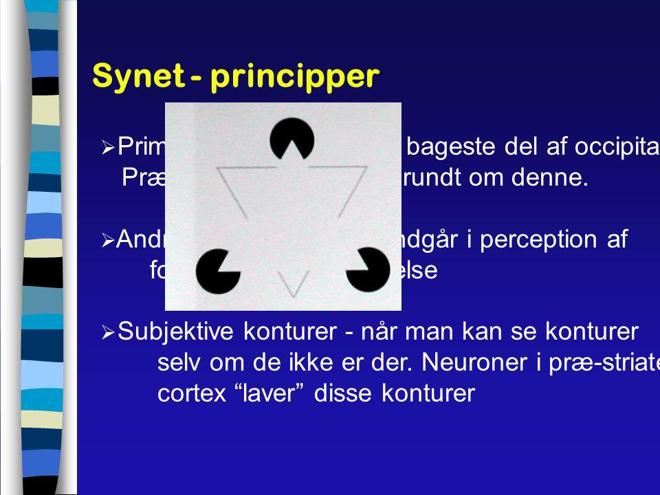 Synet - principper Primære visuelle cortex i bageste del af occipitallap. Præ-striate cortex ligger rundt om denne.