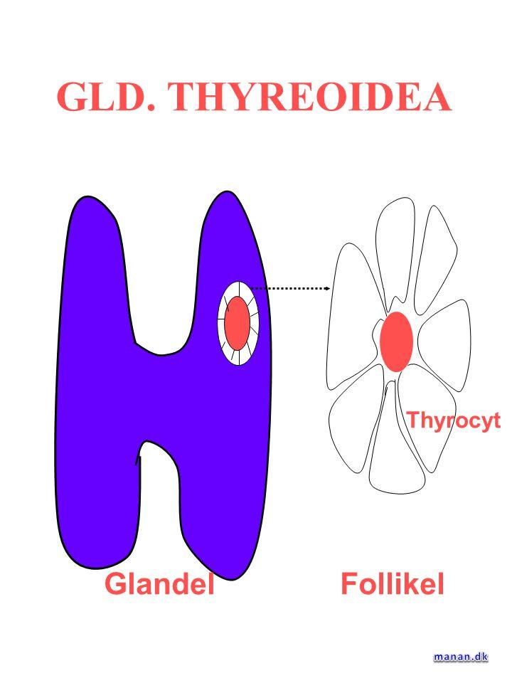 GLD. THYREOIDEA Glandel Follikel Thyrocyt