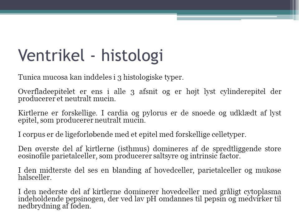 Ventrikel - histologi