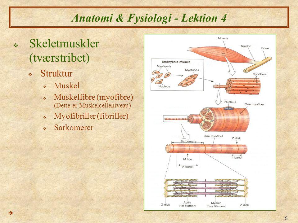 røde og hvide muskelfibre