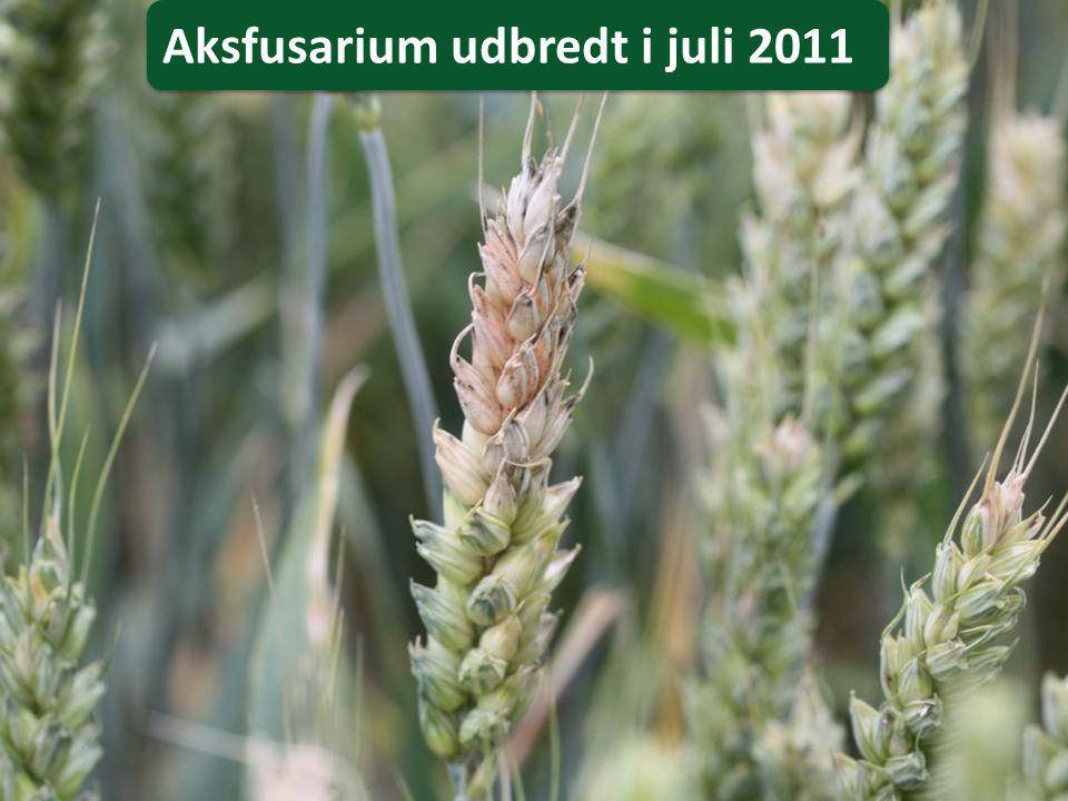Aksfusarium udbredt i juli 2011