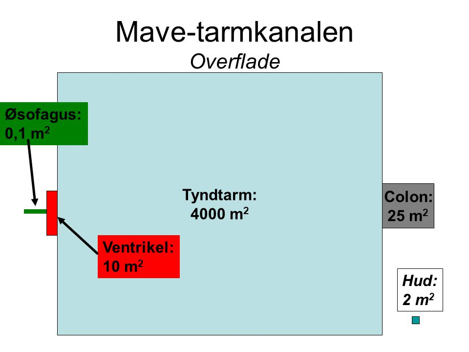 Mave-tarmkanalen Overflade