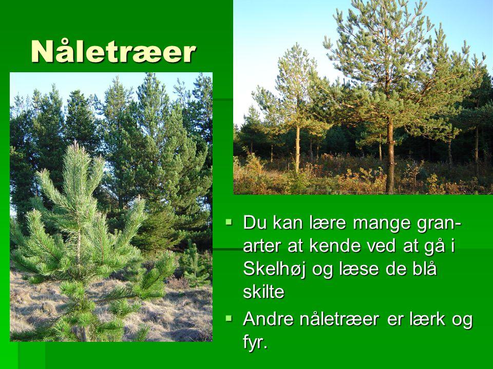 Nåletræer Du kan lære mange gran-arter at kende ved at gå i Skelhøj og læse de blå skilte.