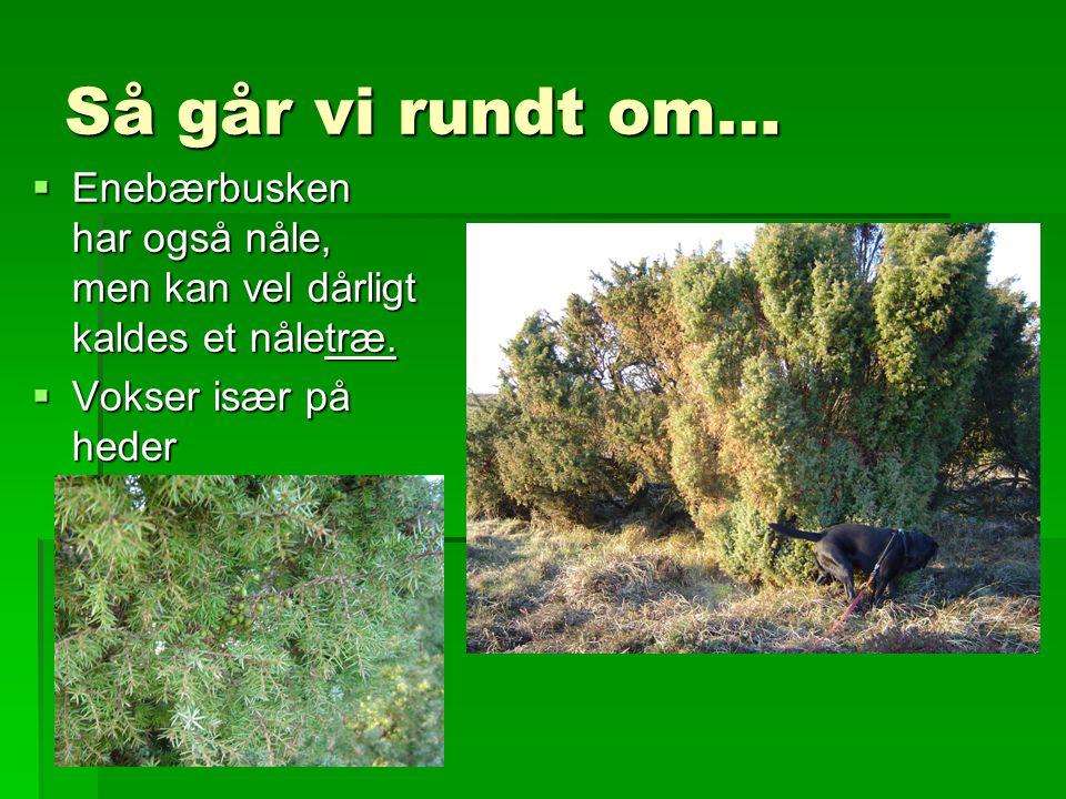 Så går vi rundt om… Enebærbusken har også nåle, men kan vel dårligt kaldes et nåletræ.