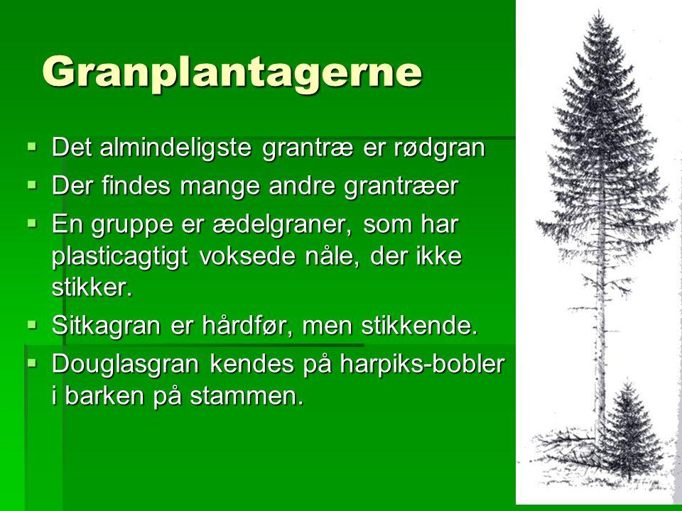 Granplantagerne Det almindeligste grantræ er rødgran
