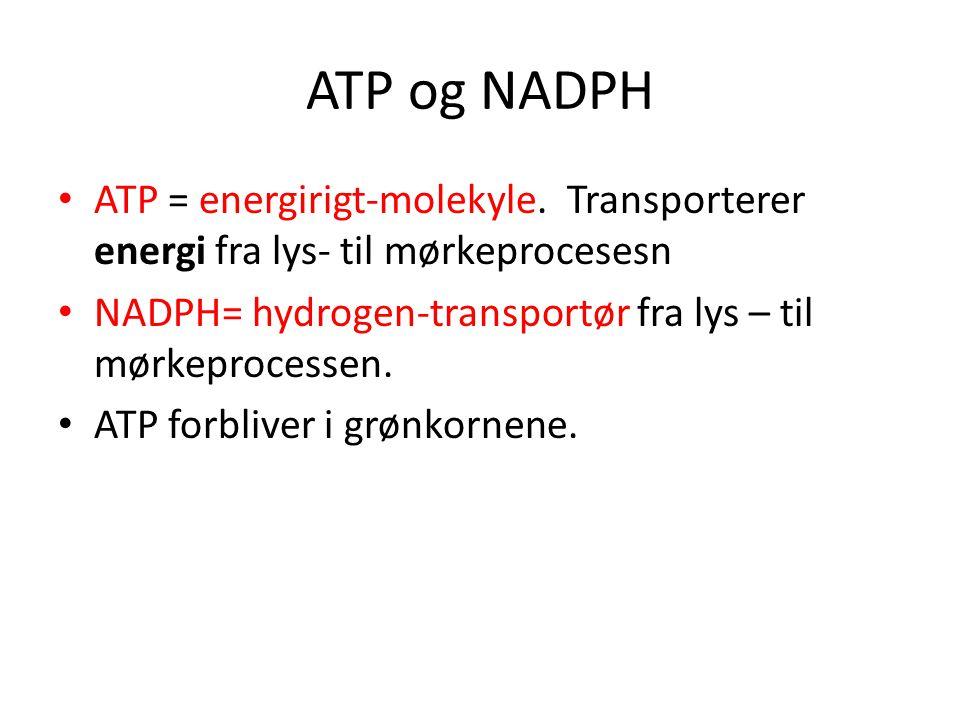ATP og NADPH ATP = energirigt-molekyle. Transporterer energi fra lys- til mørkeprocesesn. NADPH= hydrogen-transportør fra lys – til mørkeprocessen.
