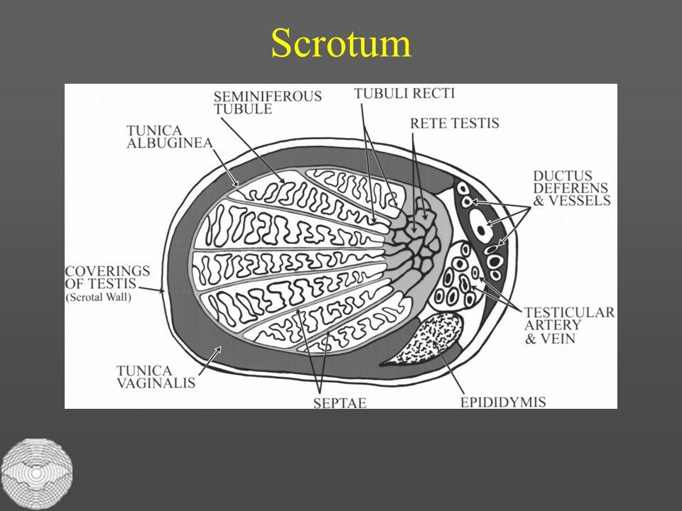 Scrotum Dette er en prøve 54