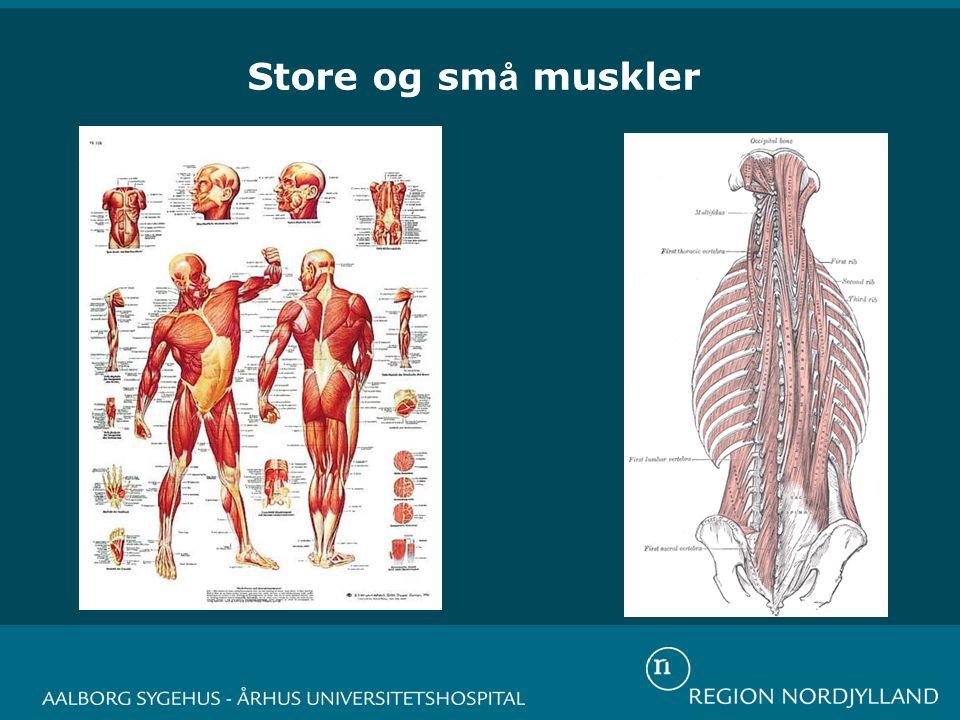 Store og små muskler