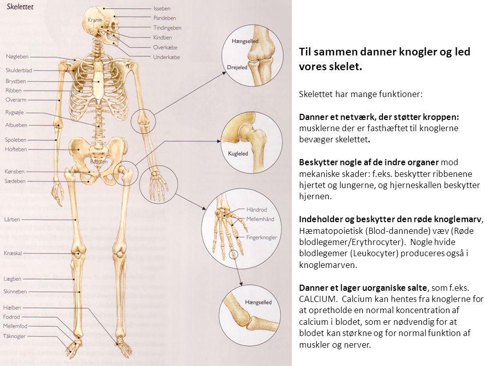 Til sammen danner knogler og led vores skelet.