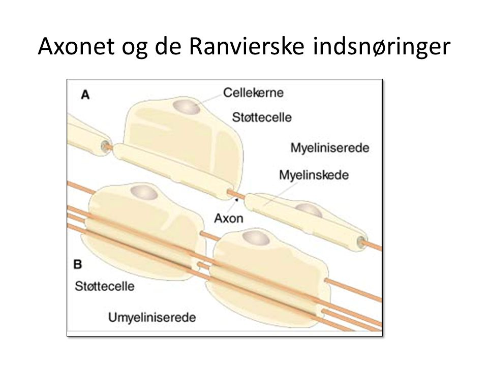 Axonet og de Ranvierske indsnøringer
