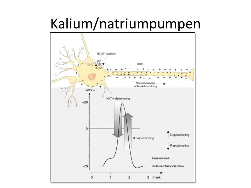 Kalium/natriumpumpen