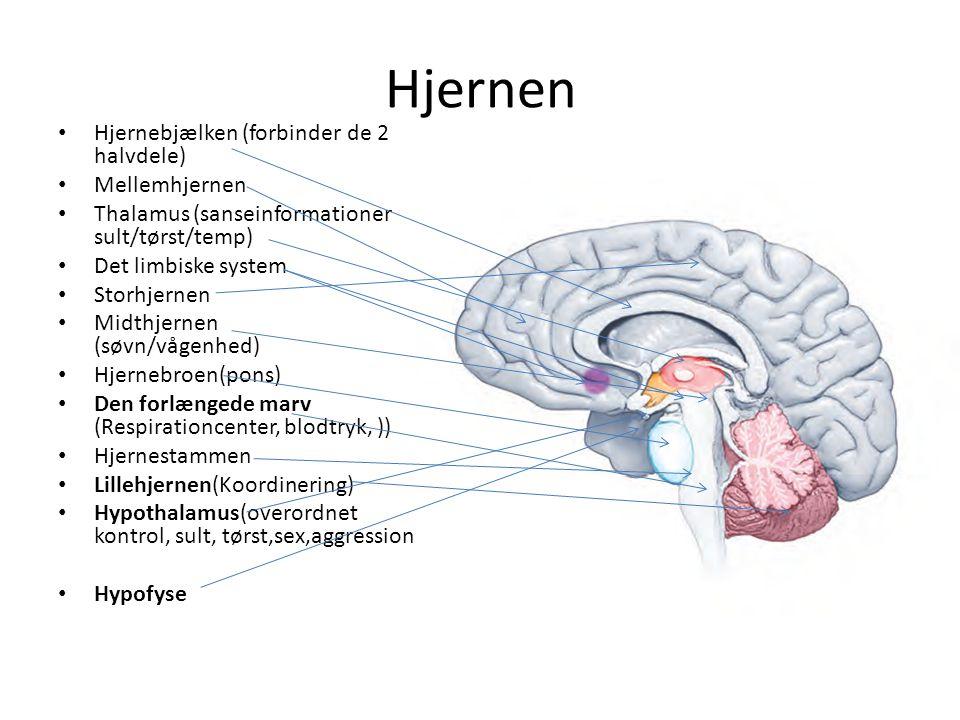 Hjernen Hjernebjælken (forbinder de 2 halvdele) Mellemhjernen