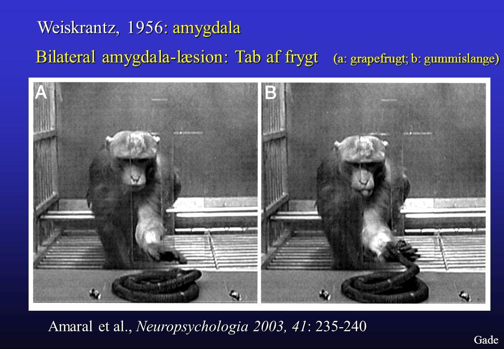 Weiskrantz, 1956: amygdala Bilateral amygdala-læsion: Tab af frygt (a: grapefrugt; b: gummislange)