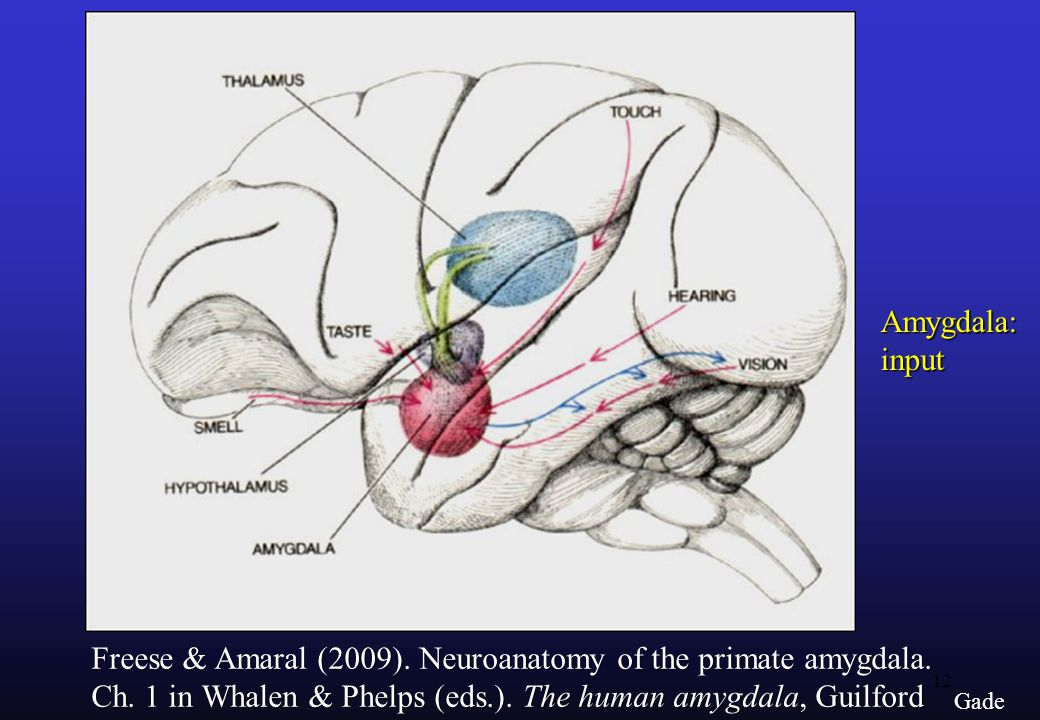 Freese & Amaral (2009). Neuroanatomy of the primate amygdala.
