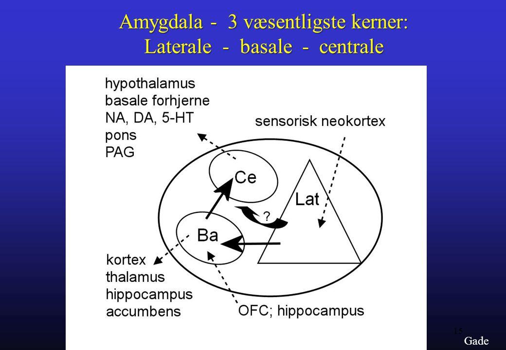 Amygdala - 3 væsentligste kerner: Laterale - basale - centrale