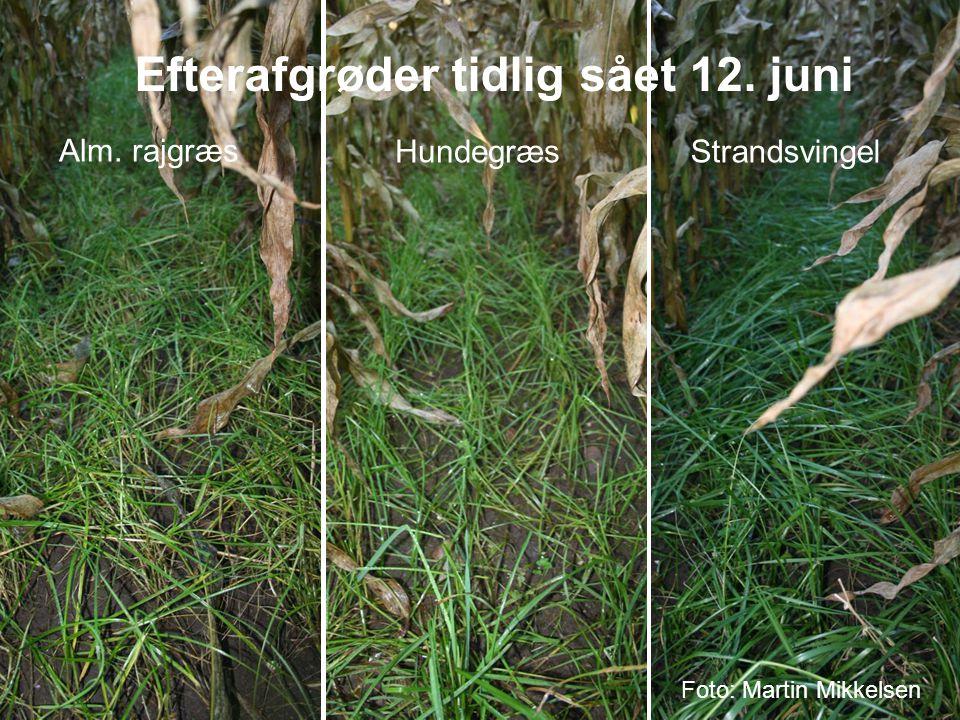 Efterafgrøder tidlig sået 12. juni
