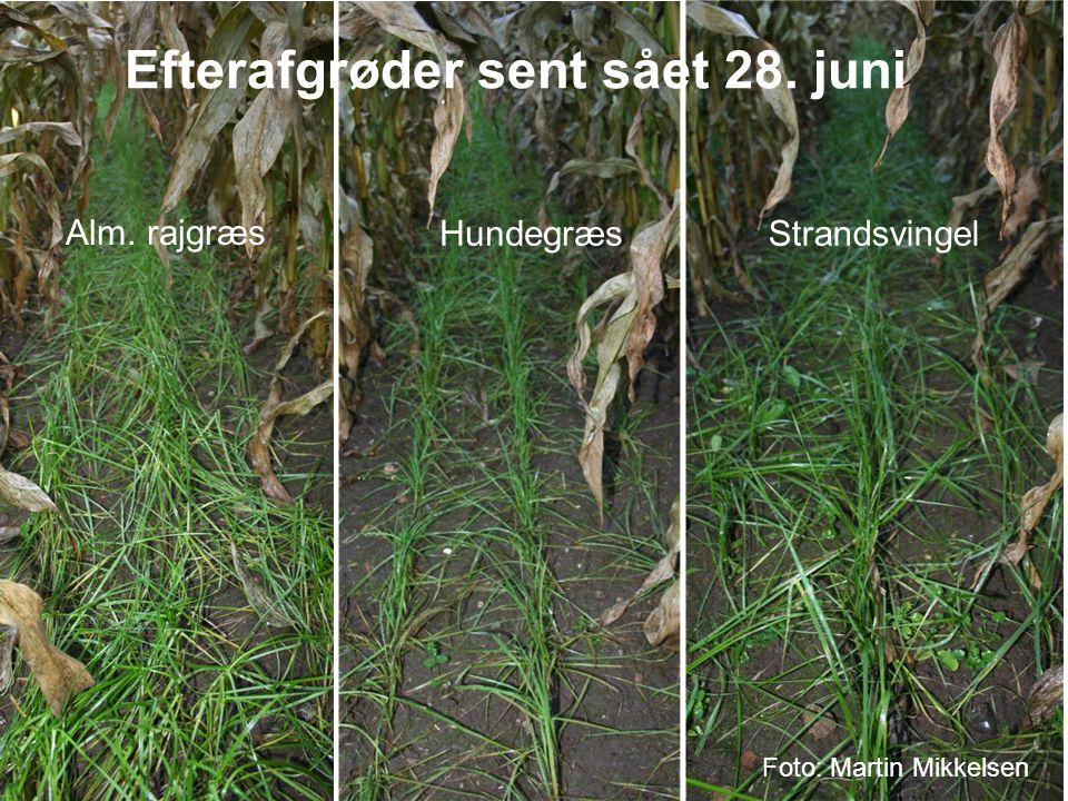 Efterafgrøder sent sået 28. juni
