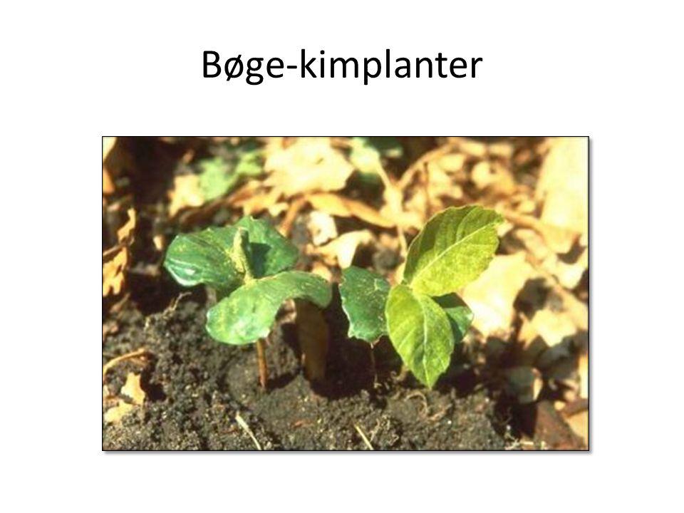Bøge-kimplanter