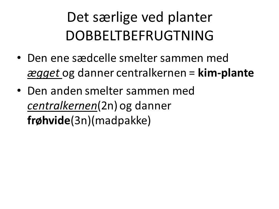 Det særlige ved planter DOBBELTBEFRUGTNING