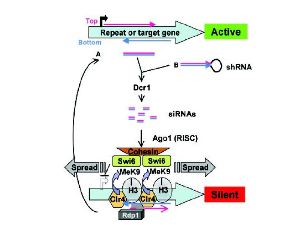 siRNA pathway i S.pombe