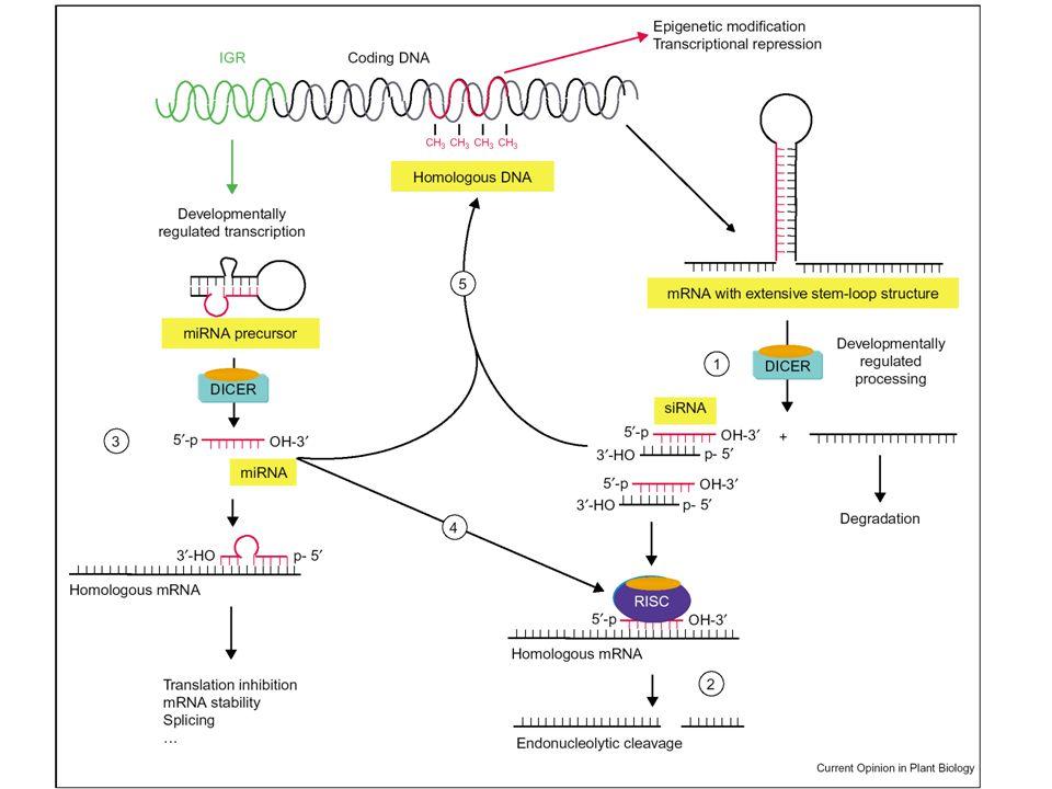 Små RNAers regulering af gen-ekspression hos planter