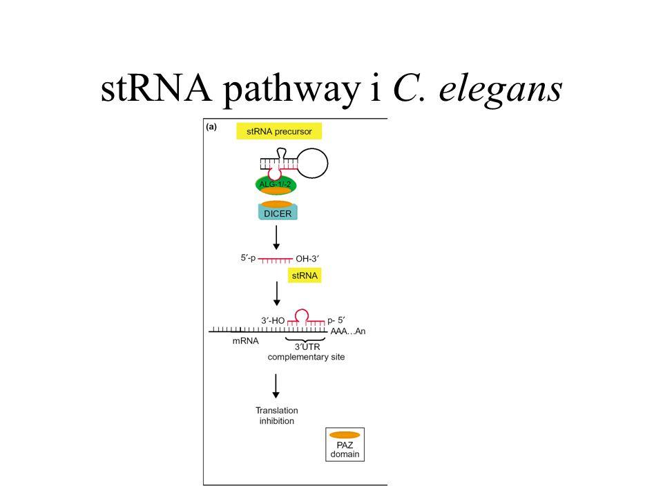 stRNA pathway i C. elegans