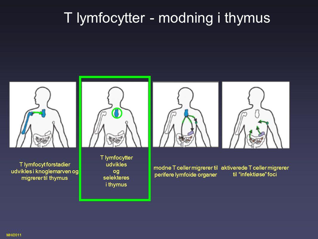 T lymfocytter - modning i thymus
