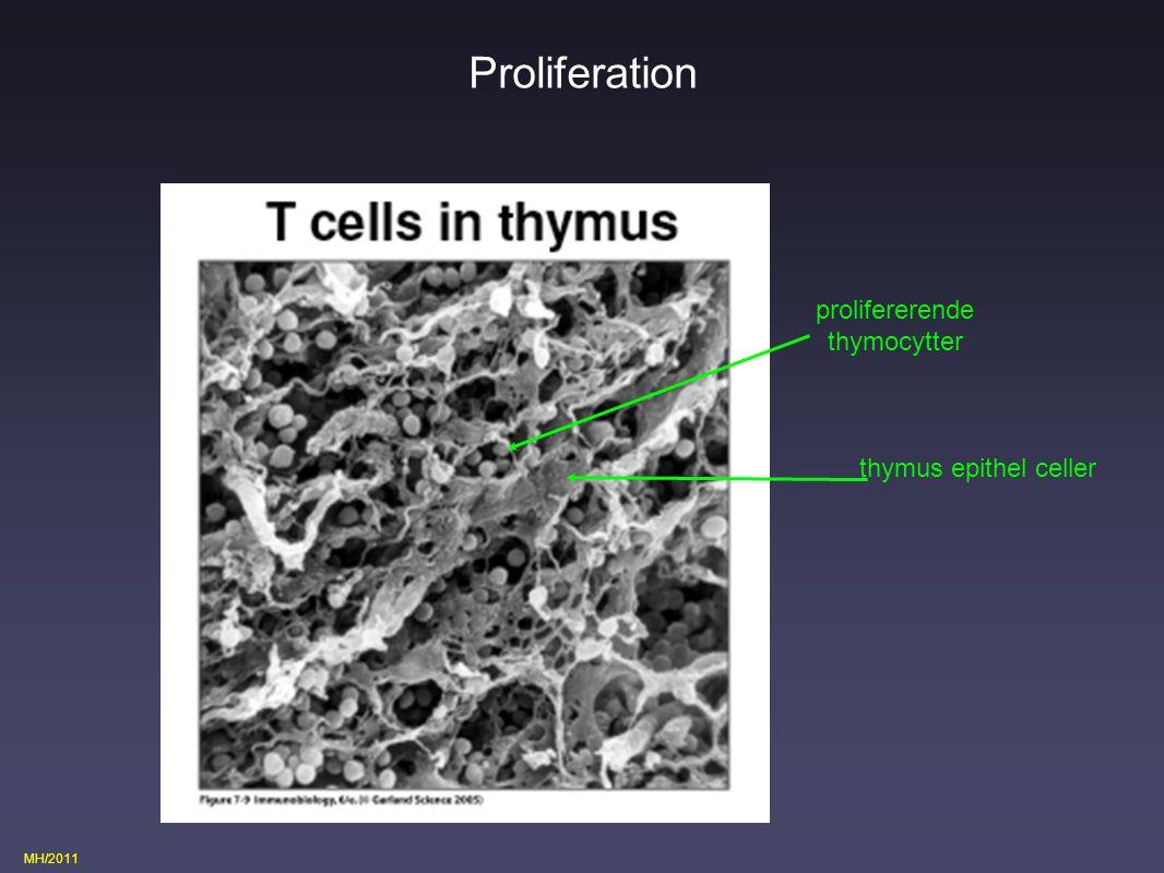 Proliferation prolifererende thymocytter thymus epithel celler
