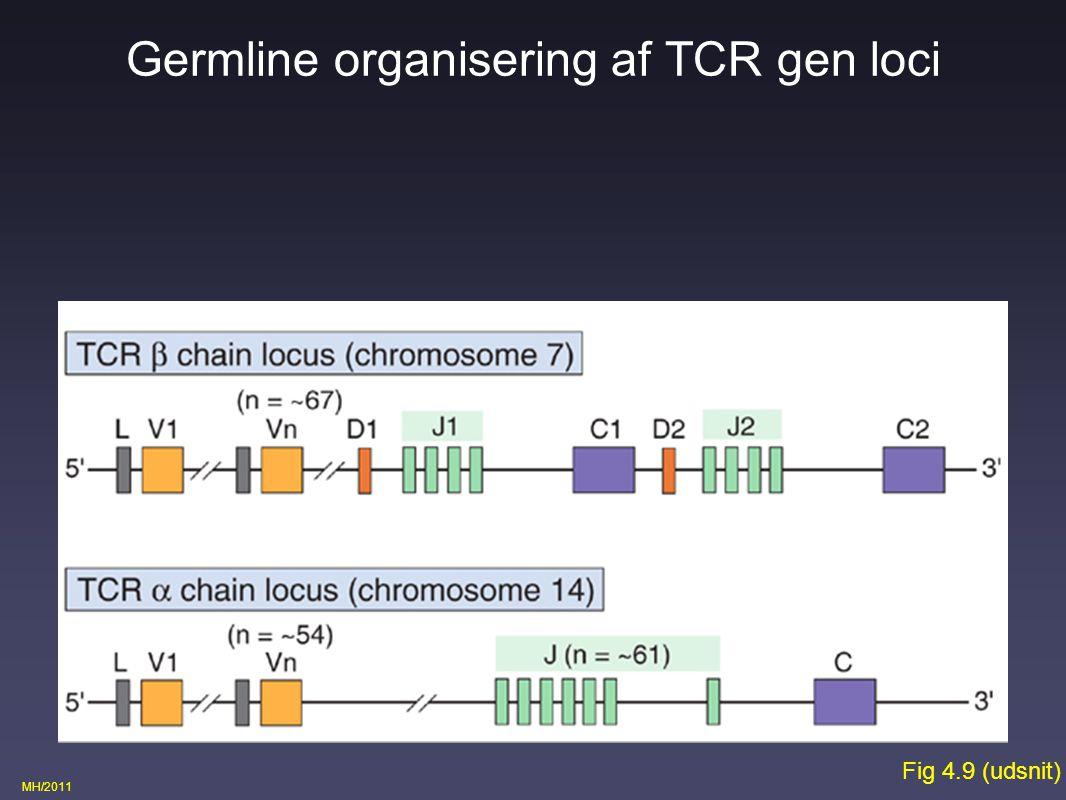 Germline organisering af TCR gen loci