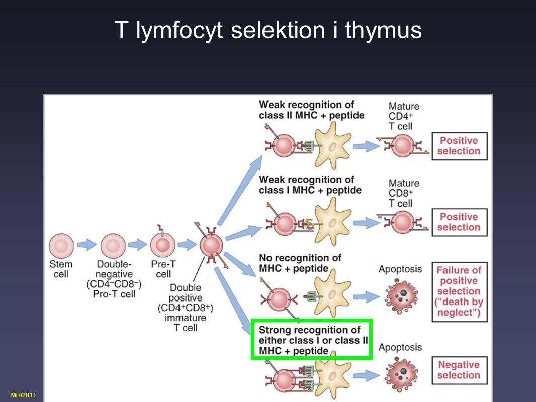 T lymfocyt selektion i thymus