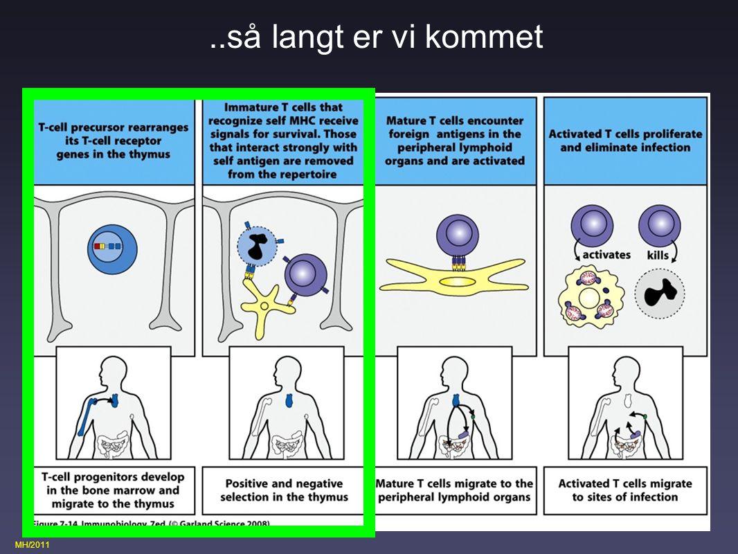 ..så langt er vi kommet T cellers udvikling og modning