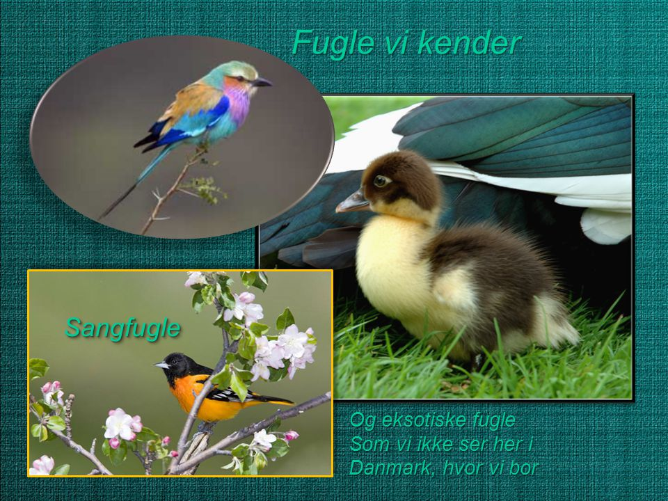 Fugle vi kender Sangfugle Og eksotiske fugle Som vi ikke ser her i
