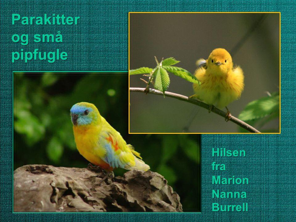 Parakitter og små pipfugle Hilsen fra Marion Nanna Burrell