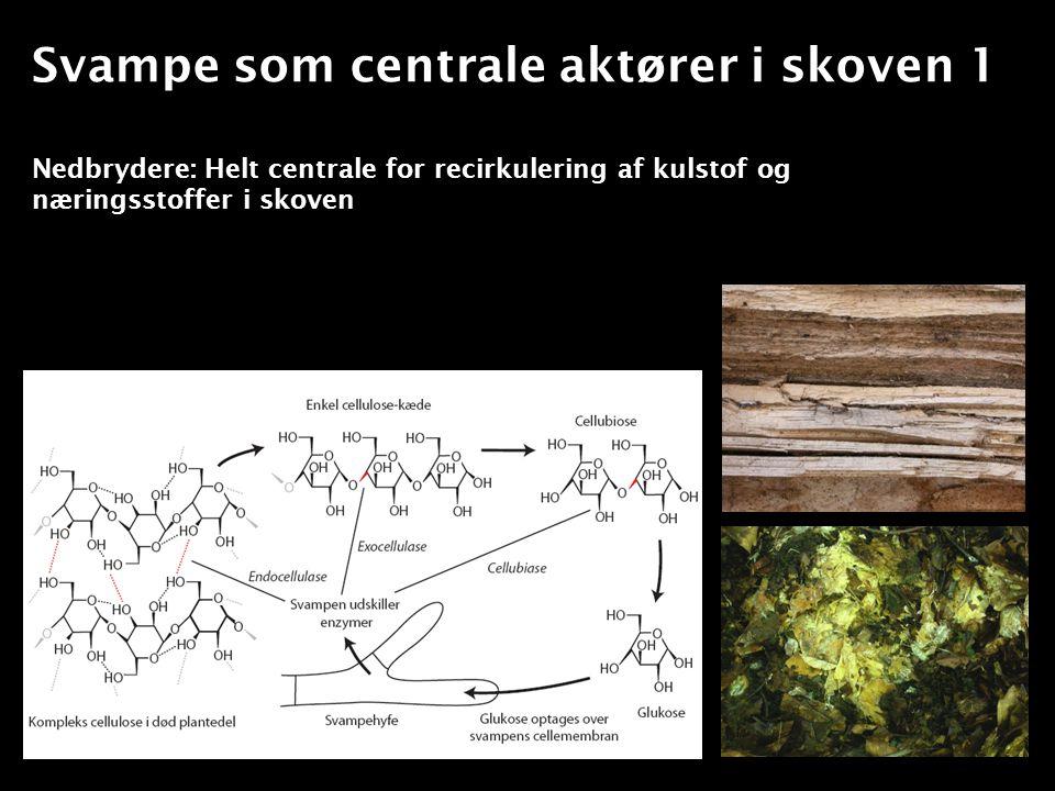Svampe som centrale aktører i skoven 1