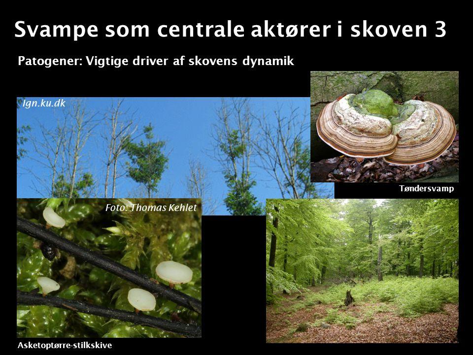 Svampe som centrale aktører i skoven 3