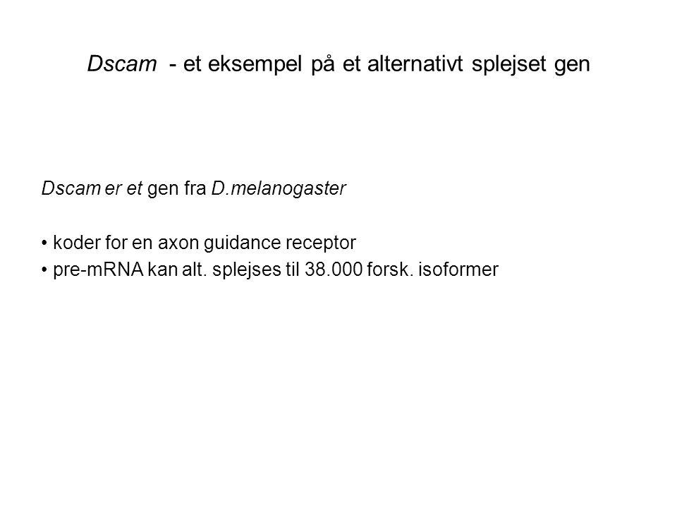 Dscam - et eksempel på et alternativt splejset gen
