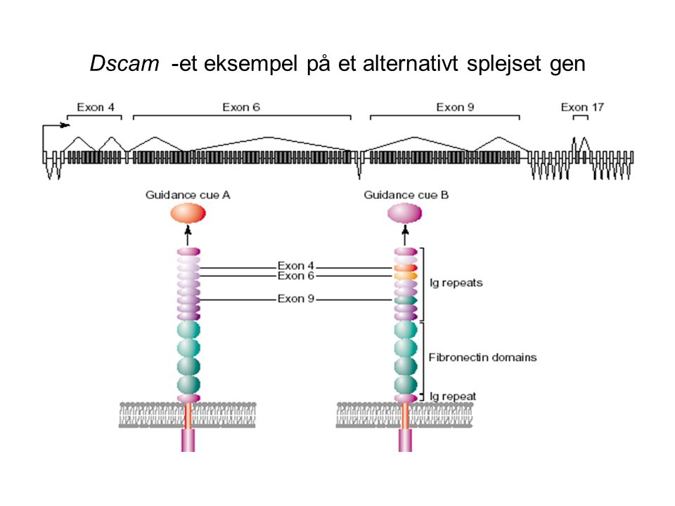Dscam -et eksempel på et alternativt splejset gen