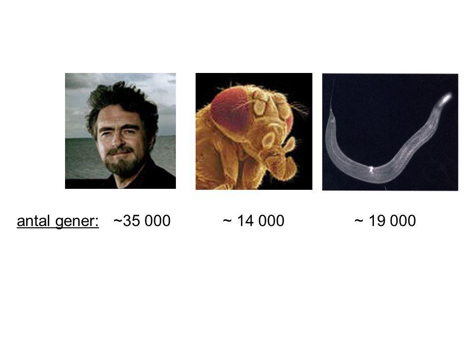 antal gener: ~35 000 ~ 14 000 ~ 19 000