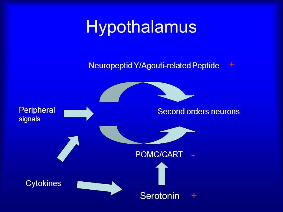 Hypothalamus - + Serotonin + Neuropeptid Y/Agouti-related Peptide