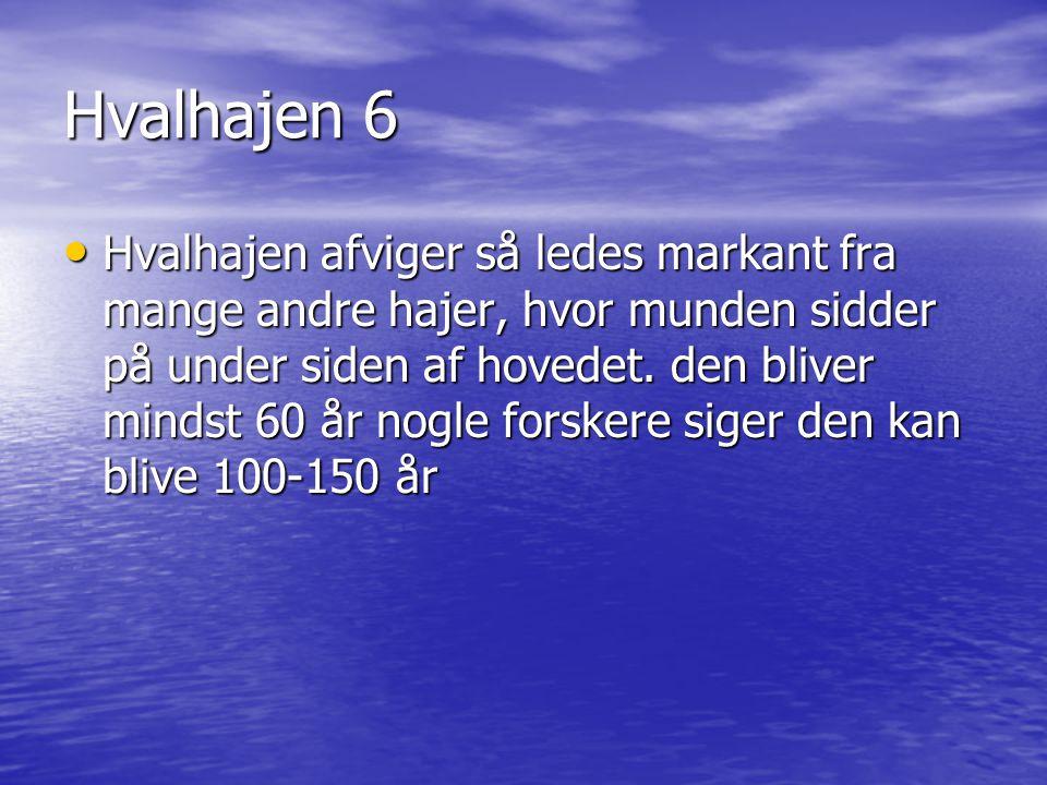Hvalhajen 6