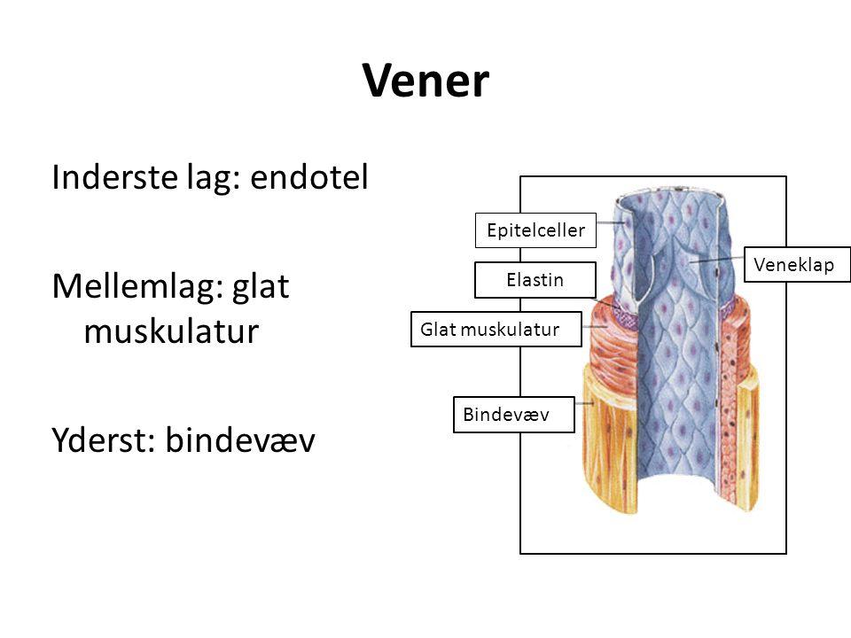 Vener Inderste lag: endotel Mellemlag: glat muskulatur Yderst: bindevæv Epitelceller. Veneklap. Elastin.
