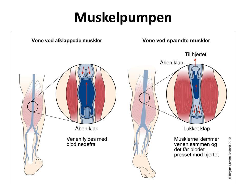 Muskelpumpen
