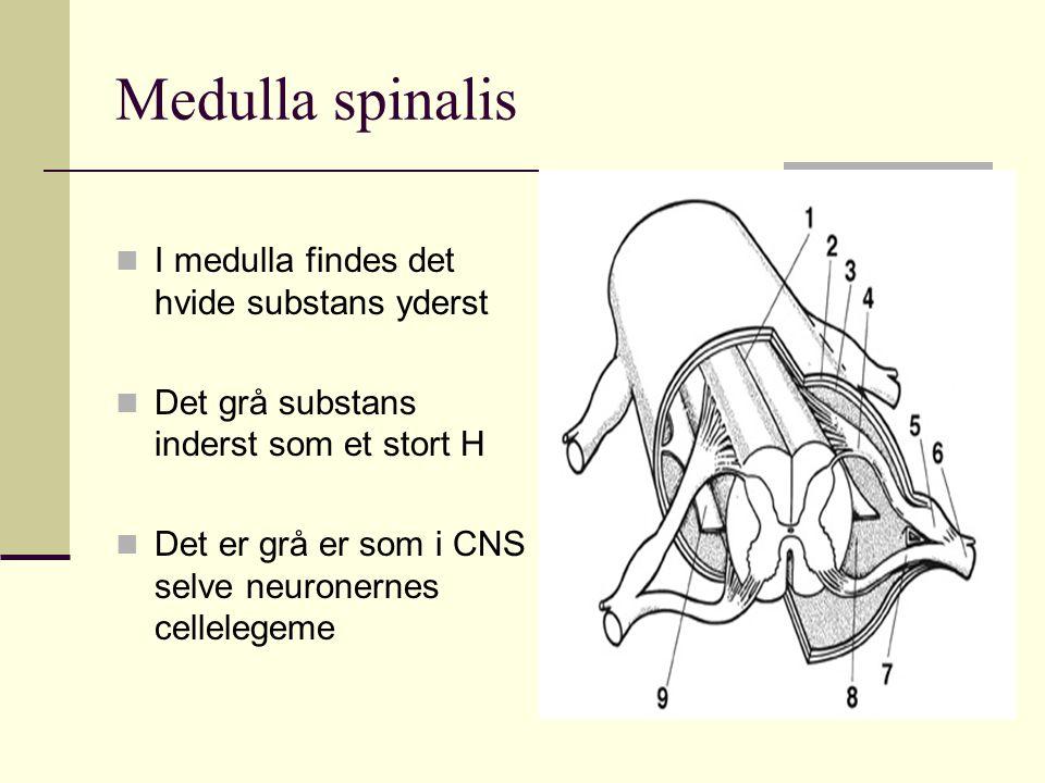 Medulla spinalis I medulla findes det hvide substans yderst