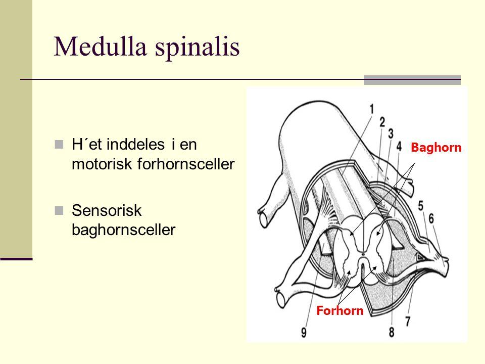 Medulla spinalis H´et inddeles i en motorisk forhornsceller