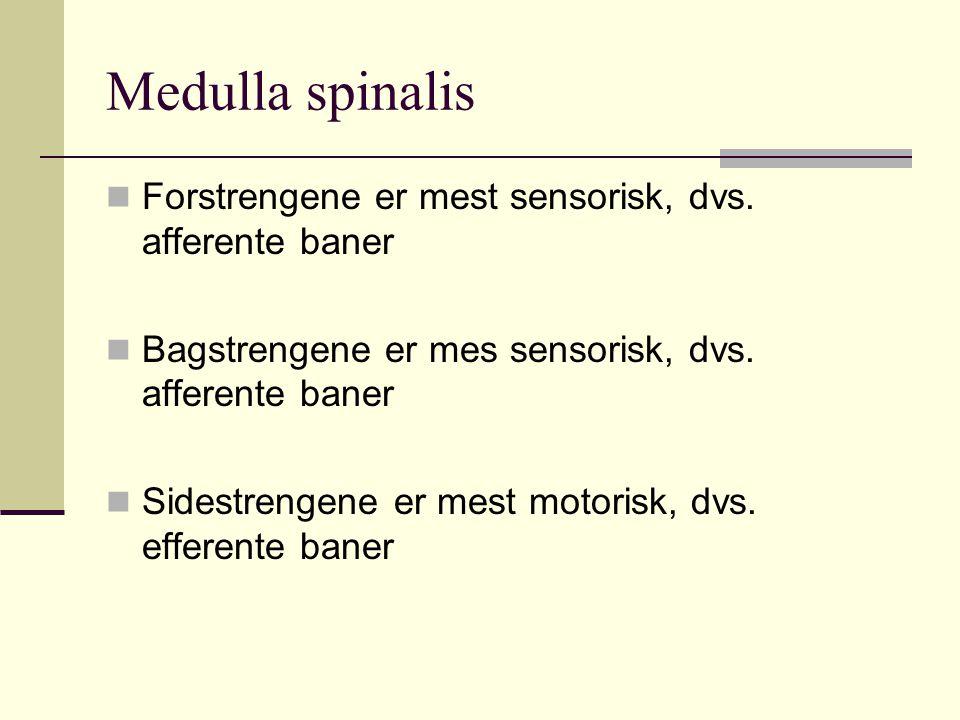 Medulla spinalis Forstrengene er mest sensorisk, dvs. afferente baner