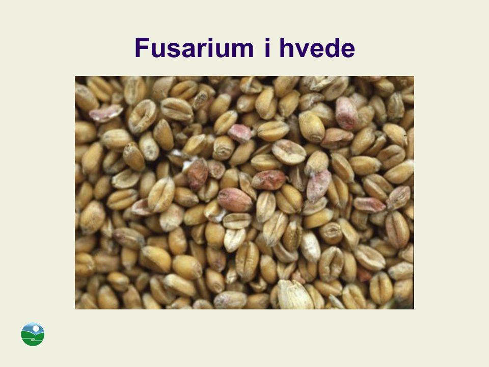 Fusarium i hvede