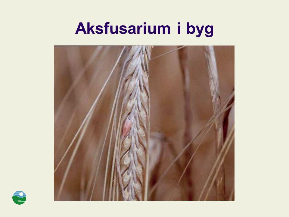 Aksfusarium i byg